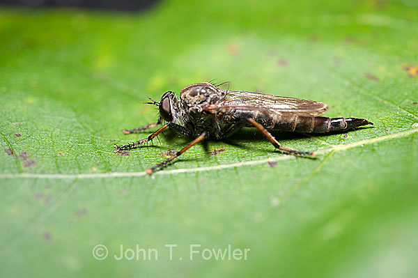 Robber Fly. Machimus sp.