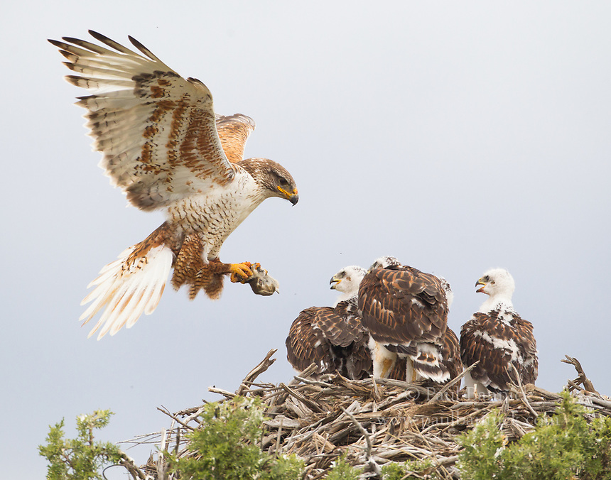 A female Ferruginous Hawk delivers food to young waiting at the nest.