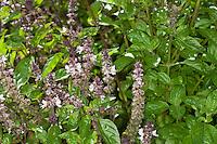 Basilikum, Basilienkraut, Basilien-Kraut, Ocimum basilicum, Basil, Thai Basil, Sweet Basil