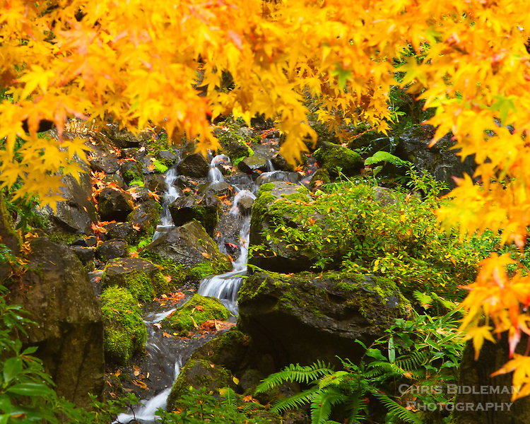 A Japanese Maple in Fall with yellow leaves frames the view to a small stream flowing over mossy rocks in the Portland Japanese Garden