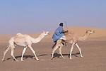 Nomade montant à cru un dromadaire dans les dunes de l'Amatlich. Mauritanie. AfriqueNomad riding a dromedary in the dunes of the Amatlich. Mauritania. Africa