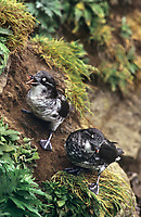 506760303 two wild least auklets aethia pusilla perch on the side of a cliff face on saint george in the pribilof islands in southeast alaska