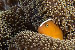 Anda, Bohol, Philippines; orange anemonefish living in a Merten's sea anemone