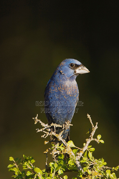 Blue Grosbeak, Guiraca caerulea, male, Uvalde County, Hill Country, Texas, USA, April 2006