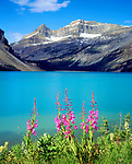 Canada, Alberta, Fireweed Wildflowers in Banff National Park, Canada