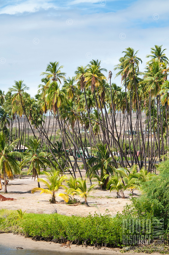 Coconut trees on sunny Moloka'i day.
