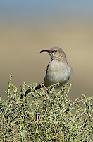 581970034 a wild lecontes thrasher toxostoma lecontei perches on a deseet plant in kern county california united states