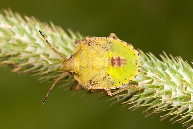 Stink Bug (Euschistus sp.) - Nymph, Ward Pound Ridge Reservation, Cross River, Westchester County, New York