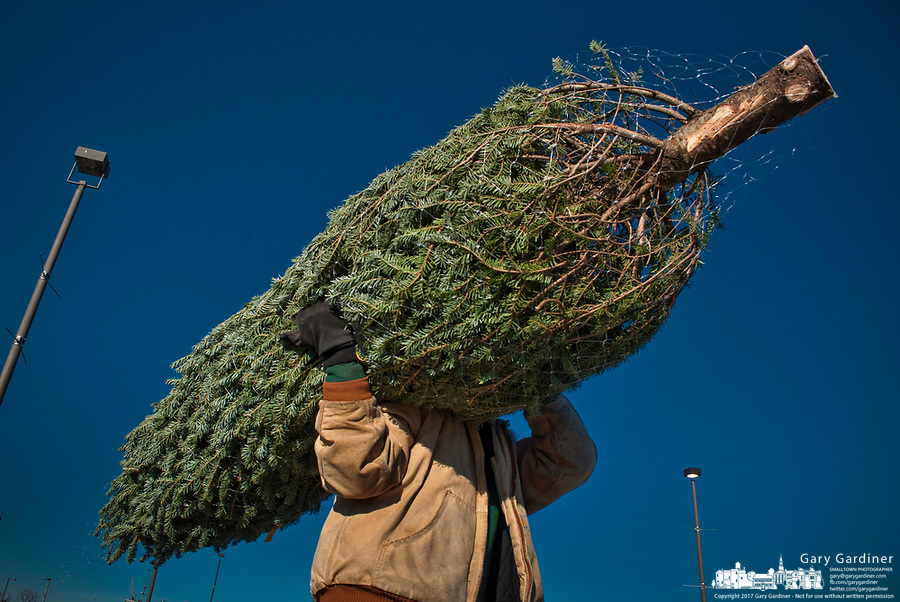 A Christmas tree sold at a sales lot in the parking lot of a shopping center is carried to the buyers car on the shoulder of a worker.