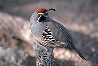 35-B6-QG-103   GAMBEL'S QUAIL (Lophortyx gambelii), perched on cholla branch, Saguaro National Park, Arizona, USA.