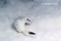 MA28-157z  Short-Tailed Weasel - ermine exploring forest for prey in winter, camouflaged - Mustela erminea