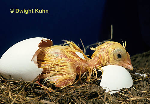 DG02-018x Chicken hatching from egg, still wet
