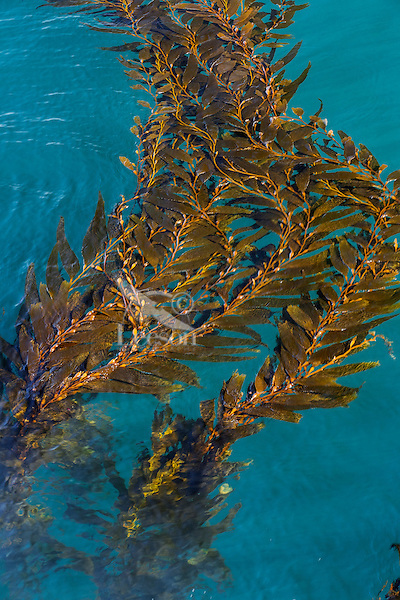Giant Kelp (Macrocystis pyrifera) fronds floating near the surface of the Pacific Ocean, Central California Coast.  Giant Kelp are one of the fastest growing organisms on Earth.  They can grow more than two feet per day and reach a length of 150 feet or more making them one of the largest of algae.