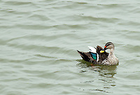 Stock photo: Spot-billed duck gracefully swimming in soft currents of lake water of Lakhota pond Gujarat, India.