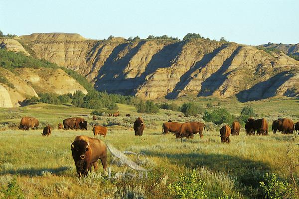 American Bison herd in the north unit of Theodore Roosevelt National Park, North Dakota.  Summer.