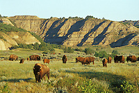 American Bison herd in the north unit of Theodore Roosevelt National Park, North Dakota.  Summer.