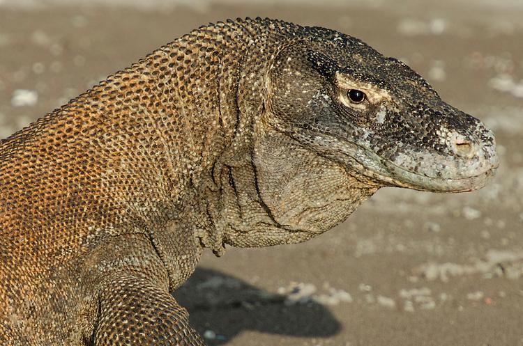 Komodo Dragon, Varanus komodoensis, Horseshoe bay, Komodo National Park