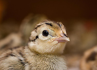 Day old French Common pheasant chicks on cardboard bedding.