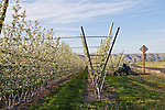 Apple orchards, vertical axis orchard system, Selah, Eastern Washington, Yakima County, Washington State, Pacific Northwest, United States, spring, apple blossoms,