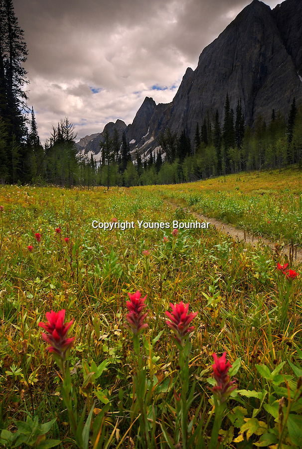 Indian Paintbrush meadow at the base of the Rockwall in the floe lake trail leading to Numa Pass. Gray, menacing sky.