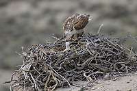 Ferruginous Hawk (Buteo regalis) feeding its young chick at the nest. Sublette County, Wyoming. June.