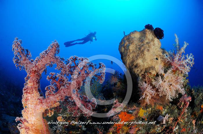 Dendronephthya klunzingeri, Stachelige Prachtkoralle und Taucher, Weichkoralle, Korallenriff, scuba diver with colorful coral reef and soft corals, Bali, Indonesien, Indopazifik, Bali, Indonesia Asien, Indo-Pacific Ocean, Asia