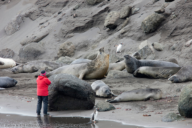 Elephant seals, Hannah Point, Livingston Island, Antarctica.