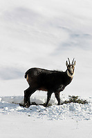 Side view of a chamois buck in the snow looking to the camera