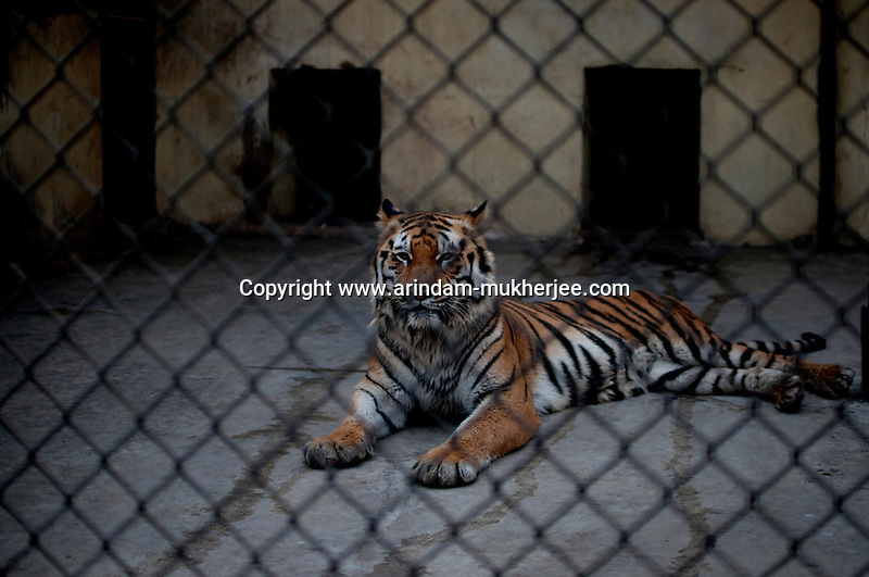 A tiger of Sunderban at Kolkata zoo, It was caught from a locality in Sunderban two years back. Kolkata, West Bengal, India, Arindam Mukherjee. February 2012
