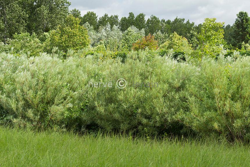 Saule drapé ou à feuilles de romarin (Salix elaeagnos = Salix rosmarifolius) // Rosemary-leaved Willow, (Salix elaeagnos = Salix rosmarifolius).