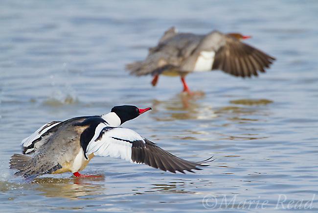 Common Mergansers (Mergus merganser) pair flying in to land on water, New York, USA