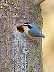 Red-breasted Nuthatch (Sitta canadensis) at nest hole in a pine trunk, Ithaca, New York, USA