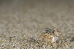 Wolf Spider (Arctosa perita) female with egg sac on seashore sand, Italy