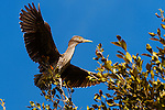 Young Green Heron holding onto a branch while flapping its wings, Upper Newport Bay, CA.