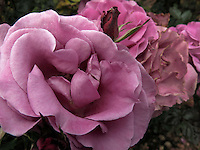 BOGOTÁ-COLOMBIA-15-01-2013. Rosa híbrido lia, rosa shocking blue. Rose hybrid lilac, rose shocking blue.  (Photo:VizzorImage)