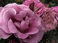 BOGOTÁ-COLOMBIA-15-01-2013. Rosa híbrido lia, rosa shocking blue. Rose hybrid lilac, rose shocking blue.  (Photo:VizzorImage)