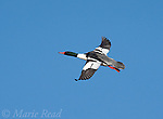 Common Merganser (Mergus merganser), male in flight, Ithaca, New York, USA