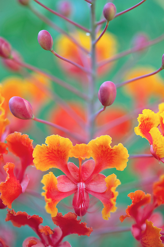 Close up ofDwarf Poinciana, Red Bird of Paradise, (Caesalpinia pulcherrima). Palm desert, California