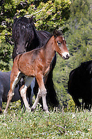 "This is Oro with the adorable 4 grey stockings and two tone legs. Isn't he just precious now and what a spectacular stallion he will grow up to be! His dad, or sire, is behind him.  Galaxy is a proud stallion and arguably the most ""wild looking"" of the whole herd. His mane and tail are full, long, beautiful and totally untamed."