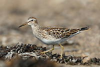 Pectoral Sandpiper Calidris melanotos. Westerly gales in September and October bring with them a crop of waders from across the Atlantic. Being powerful fliers, virtually any species that breeds in North America is a contender. Pectoral Sandpiper Calidris melanotos (L 19-22cm) recalls a Dunlin but has yellow legs, white stripes on the back, and a clear demarcation between the clean white underparts and streaked breast.