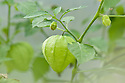 Tomatillo, early September. Also known as husk tomato, jamberry, husk cherry, and Mexican tomato.