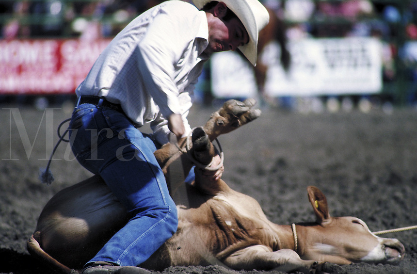 Man roping legs of steer during rodeo event. Livermore, California.