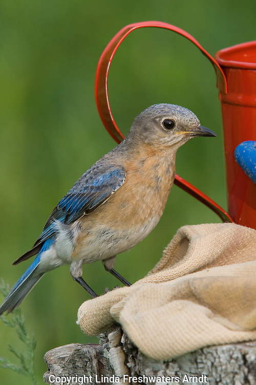 Female eastern bluebird perched next to gardening equipment