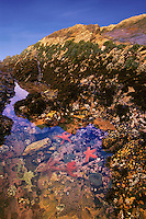 The area exposed at low tide and underwater at high tide is the intertidal zone. Tidepools are home to a rich diversity of plants and animals, Montana de Oro State Park, CA