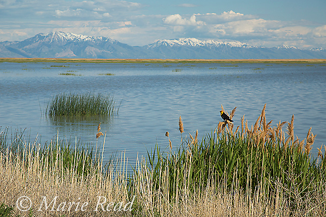 Bear River Migratory Bird Refuge, view toward east, with Wasatch Mountains in distance, Utah, USA