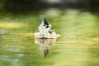 black-crested titmouse, Baeolophus atricristatus, also known as Mexican titmouse, adult bathing, Hill Country, Texas, USA, North America