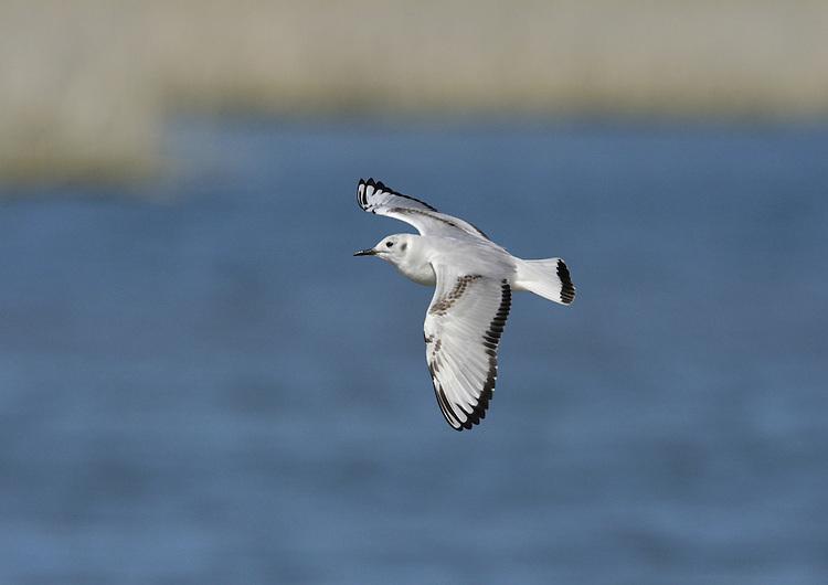 Bonaparte's Gull - Chroicocephalus philadelphia - 1st winter
