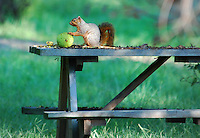 COURTESY PHOTO TERRY STANFILL<br /> PICNIC LUNCH<br /> A squirrel chews on a hedge apple near Gentry. Terry Stanfill of the Decatur area took the picture Sept. 15 along the Eagle Watch Nature Trail at Swepco Lake.