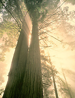 Large redwoods with fog and sun rays. Redwood National Park, California.