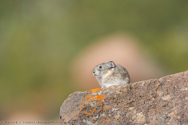 Collared pika, Denali National Park, Alaska